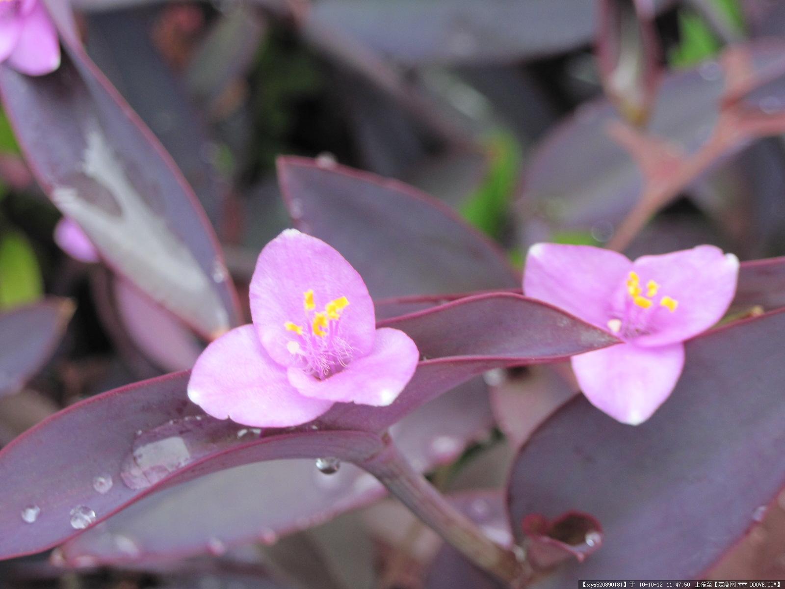 大图预览1 紫竹梅高清图片桌面壁纸下载2-植物壁纸