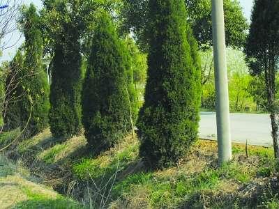 物,景观图纸,效果图,景观图片_定鼎园林-北京马各庄百余棵大树